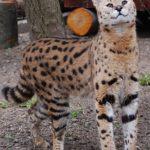 У неділю в Рівненському зоопарку свято – Всесвітній день котів