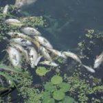 Рівнян просять допомогти попередити літню задуху риби