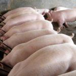 Рівненським фермам озвучили вимоги утримання свиней