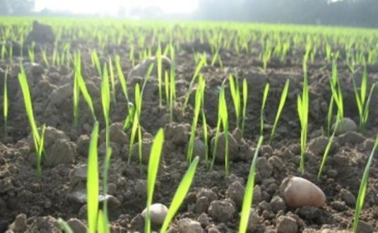 На Рівненщині сіють зернові та буряки