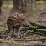На Рівненщині – «сезон тиші» для диких тварин