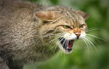 На Рівненщині скажений кіт покусав жінку
