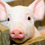 У Рівненську область намагаються не допустити африканську чуму свиней