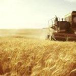 Хлібороби Рівненщини розпочали збирати ранні зернові та зернобобові.