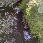 На Рівненщині у річці вже два тижні лежать мертві поросята