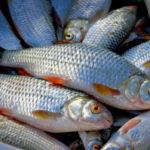 На Рівненщині у рибалок вилучили риби на понад дві тисячі гривень