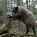 На Рівненщині розпочався сезон колективного полювання на копитних тварин
