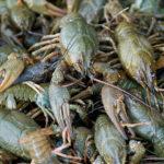 Підводні мисливці на Хрінницькому водосховищі завдали збитків на суму понад 13,8 тис. гривень