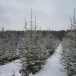 Понад 90 тис новорічних ялинок підготували до свят лісівники Рівненщини.