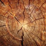 Правопорушник відшкодував завдані збитки лісу за незаконну порубку дуба