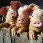 На Рівненщині селянам вже не сила терпіти сморід свиноферми