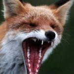 Через скажену лисицю введені карантинні обмеження