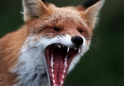 На Рівненщині зареєстровано два випадки сказу тварин