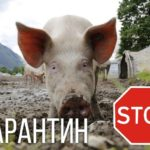 У Березнівському районі – карантин у зв'язку із чумою свиней
