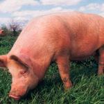 На Рівненщині у чоловіка свині загинули через чуму