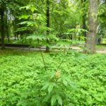 В Гощанському парку зацвів рідкісний вид каштану