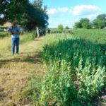 Понад тисячу рослин снодійного маку вилучили поліцейські за добу на Рівненщині