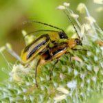 На Рівненщині через небезпечного жука ввели карантинний режим