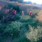 На Рівненщині поліцейські знищили плантацію конопель