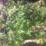 На Рівненщині за добу поліцейські знищили рекордну кількість нарковмісних рослин