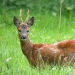 На Рівненщині браконьєри вбили козулю