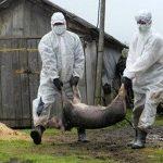 На Гощанщині проводиться відшкодування завданих збитків у результаті захворювання свиней африканською чумою
