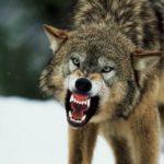 Жінка відбивалась від вовка поліном, а чоловік проткнув тварину вилами