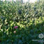 1220 нарковмісних рослин та канабіс вилучили поліцейські на Рівненщині