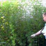 Плантацію конопель знищили поліцейські у жителя Здолбунова