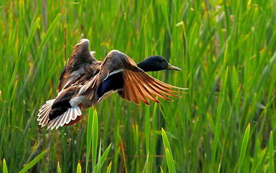 У суботу на Рівненщині відкривається сезон полювання на пернату дичину