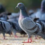 Рівнянам на замітку: від голубів можна заратися орнітозом