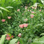 На Рівненщині поліцейські знищили понад 5000 нарковмісних рослин