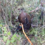На Рівненщині рятувальники діставали корову з болота